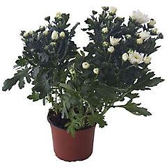 Crisantemo blanco 0,40m