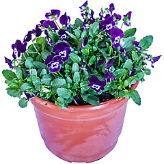 Viola mini multiflor 0.2 m ct23