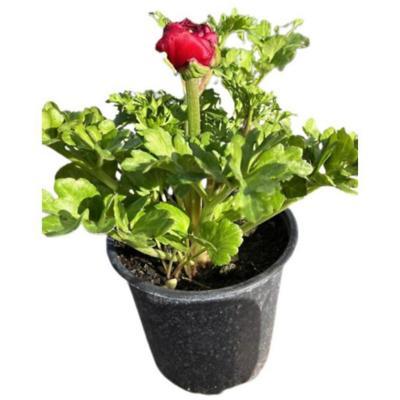 Ranunculus asiaticus 0,3 m exterior -&nbspSodimac.com