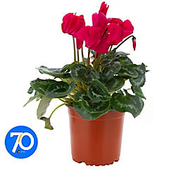 Cyclamen colores 0.1 m ct15