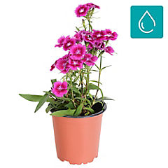 Dianthus hybrid 0,2 m exterior