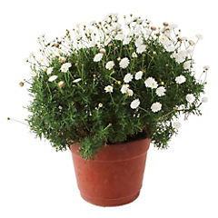 Argyranthemum 0.50 m ct26
