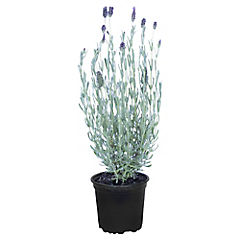 Lavanda stoe Madrid 0.3 m ct15