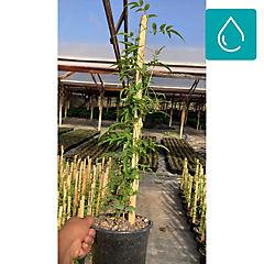 Jazmín polyanthus 0.50 m ct17
