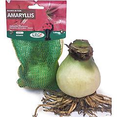 Bulbo de Amaryllis Rosado 1 unidad