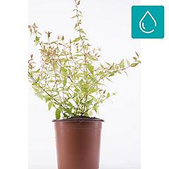 Abelia verde 0,20m