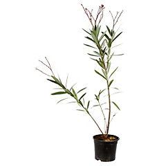 Laurel de flor 0.60 m ct17
