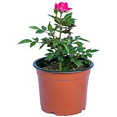 Rosa mini 0.2 m ct15
