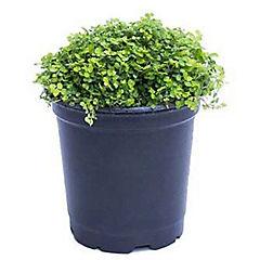 Musgo(plantas vivas)