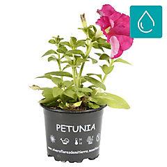 Petunia 0,10m