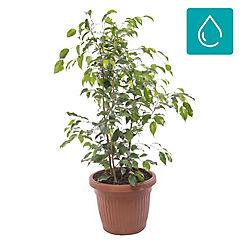 Ficus benjamina trio 1,20m