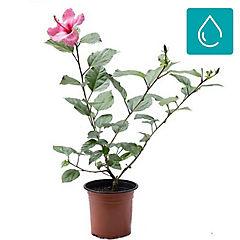 Hibiscus rosa sinensis 0,5 m exterior