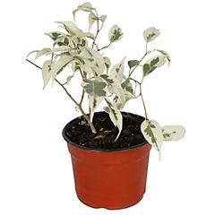 Ficus benjamina mini 0,20m