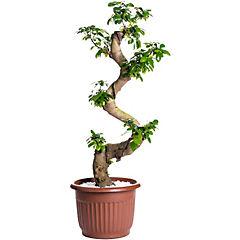 Ficus shape forma de