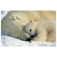 Fotomural Oso Polar 1605