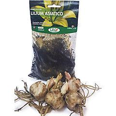 Bulbo de Lilium asiático variados colores 5 unidades