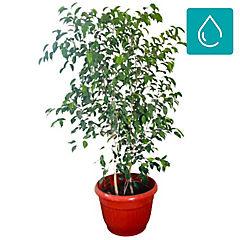 Ficus benjamina 2 m interior