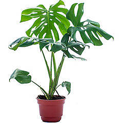 Philodendro monstera 0,4m