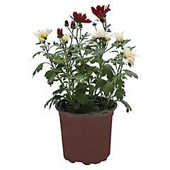 Chrysanthemum hybrido 0,25 m interior