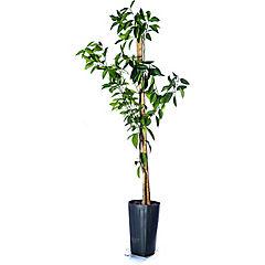 Citrus aurantifolia 0,6 m exterior