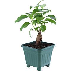 Ficus microcarpa grinseng 0,12 m interior