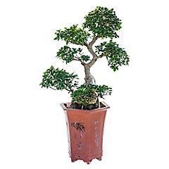 Ficus Big Ciff Shape 80 cm