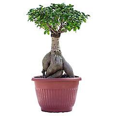 Ficus Ginseng 70 cm