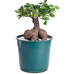 Ficus microcarpa grinseng 0,5 m interior