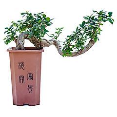 Ficus Doble Shape 80 cm