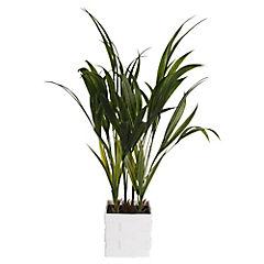 Arbusto Palm H55 72L Macetero Cuadrado