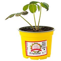 Frutilla 0,1 m exterior