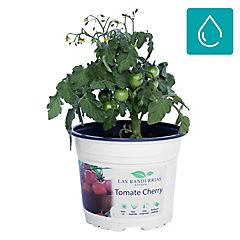 Tomate cherry 0.30 m ct15