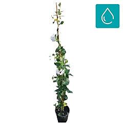 Solanum laxum 0,5 m exterior