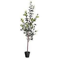Ficus verde x328L 1,62m