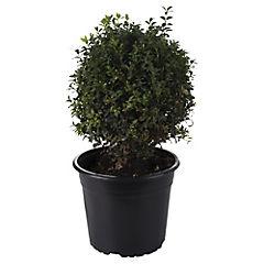 Buxus sempervirens 0,2 m exterior