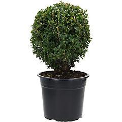 Plantas Boj bola 0,25m ct22