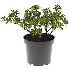 Plantas Azalea 0,40m ct26