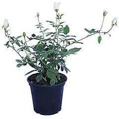 Rosa Floribunda 0,3 m