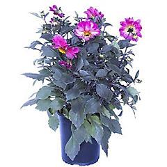 Dahlia hybrida 0,3 m exterior