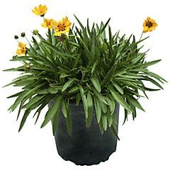 Planta perenne 0,2 m