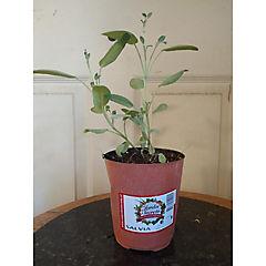 Salvia 0,2 m exterior