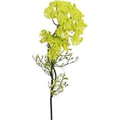 Alyssum 55 cm verde