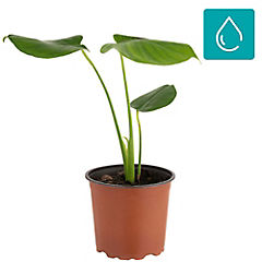 Philodendro monstera 0,2m