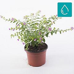Cuphea hyssopifolia 0,1 m exterior