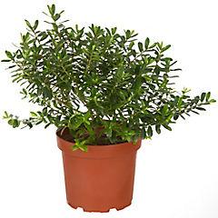 Verónica buxifolia 0.50 m ct26