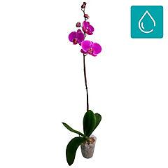 Phalaenopsis 0,3 m interior