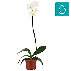 Orquídea phalaenopsis 0,50m