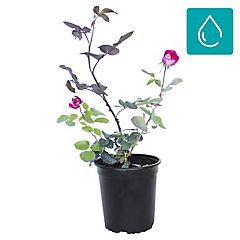Rosa 0.5 m ct17
