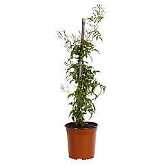 Jazmín polyanthus 0.50 m ct22