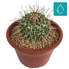 Cactus gigante súper 0,1m